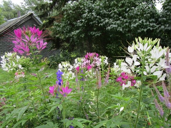 cleome and friends