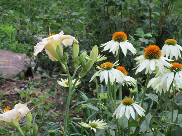 white coneflower and white daylily