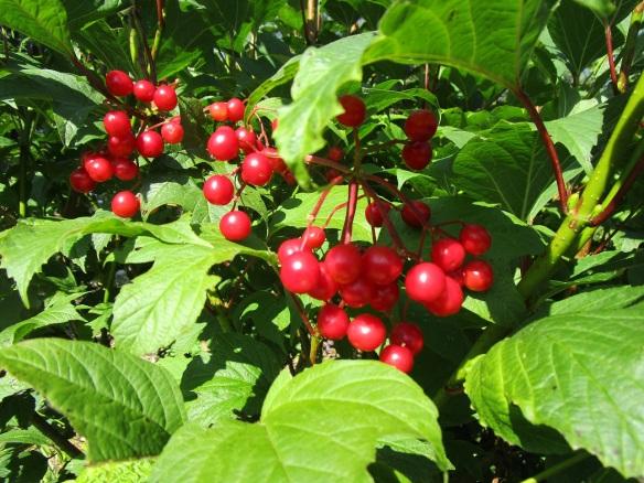 arrowwood vibernum berries